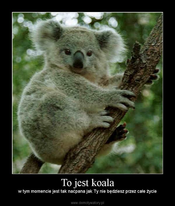 To jest koala –  w tym momencie jest tak naćpana jak Ty nie będziesz przez całe życie