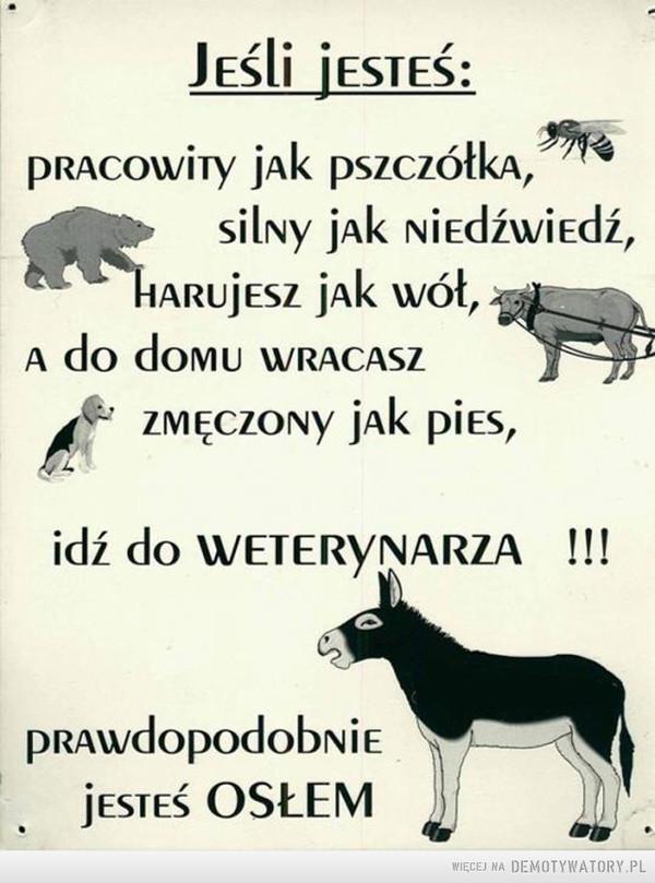 To może świadczyć tylko o jednym: –  Jeśli jesteś:pracowity jak pszczółka, silny jak niedźwiedź, harujesz jak wół, a do domu wracasz zmęczony jak pies, idź do weterynarza!!!prawdopodobnie jesteś OSŁEM