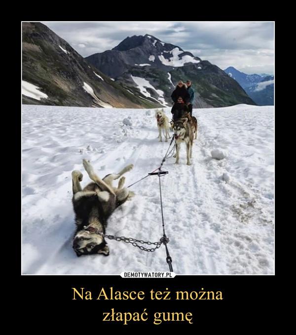 Na Alasce też możnazłapać gumę –