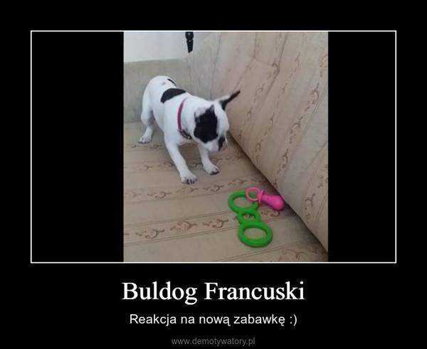 Buldog Francuski – Reakcja na nową zabawkę :)