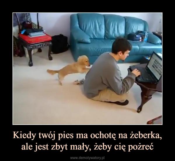 Kiedy twój pies ma ochotę na żeberka, ale jest zbyt mały, żeby cię pożreć –