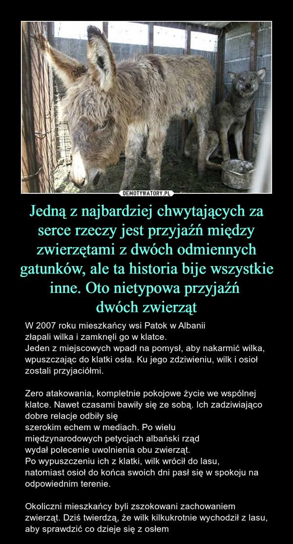 Jedną z najbardziej chwytających za serce rzeczy jest przyjaźń między zwierzętami z dwóch odmiennych gatunków, ale ta historia bije wszystkie inne. Oto nietypowa przyjaźń dwóch zwierząt – W 2007 roku mieszkańcy wsi Patok w Albanii złapali wilka i zamknęli go w klatce. Jeden z miejscowych wpadł na pomysł, aby nakarmić wilka, wpuszczając do klatki osła. Ku jego zdziwieniu, wilk i osioł zostali przyjaciółmi. Zero atakowania, kompletnie pokojowe życie we wspólnej klatce. Nawet czasami bawiły się ze sobą. Ich zadziwiająco dobre relacje odbiły się szerokim echem w mediach. Po wielu międzynarodowych petycjach albański rząd wydał polecenie uwolnienia obu zwierząt. Po wypuszczeniu ich z klatki, wilk wrócił do lasu, natomiast osioł do końca swoich dni pasł się w spokoju na odpowiednim terenie. Okoliczni mieszkańcy byli zszokowani zachowaniem zwierząt. Dziś twierdzą, że wilk kilkukrotnie wychodził z lasu, aby sprawdzić co dzieje się z osłem