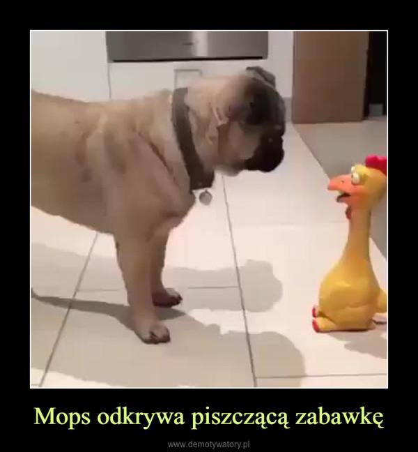 Mops odkrywa piszczącą zabawkę –
