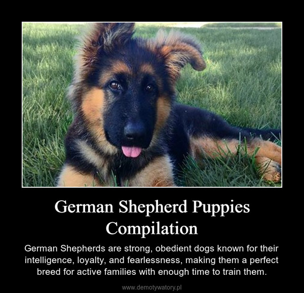 German Shepherd Puppies Compilation – German Shepherds are strong, obedient dogs known for their intelligence, loyalty, and fearlessness, making them a perfect breed for active families with enough time to train them.