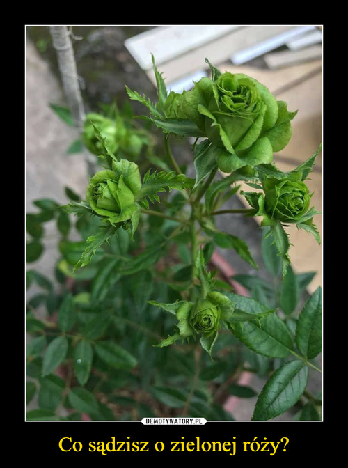 Co sądzisz o zielonej róży?