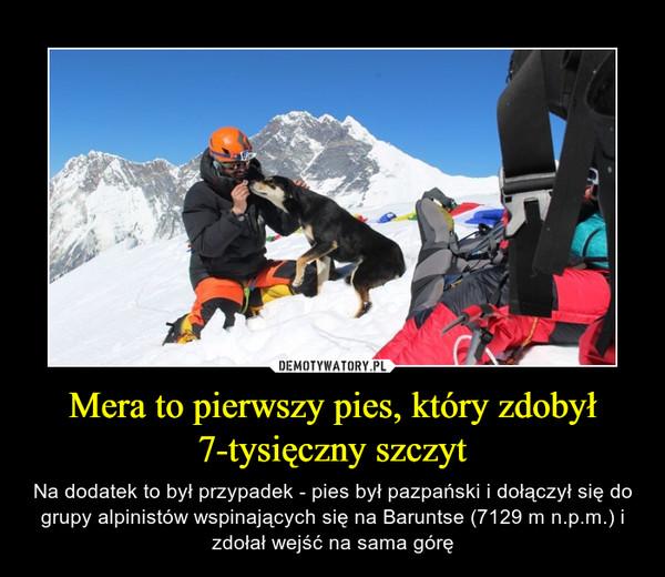 Mera to pierwszy pies, który zdobył 7-tysięczny szczyt – Na dodatek to był przypadek - pies był pazpański i dołączył się do grupy alpinistów wspinających się na Baruntse (7129 m n.p.m.) i zdołał wejść na sama górę