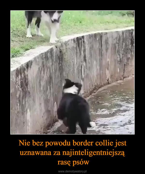 Nie bez powodu border collie jest uznawana za najinteligentniejszą rasę psów –