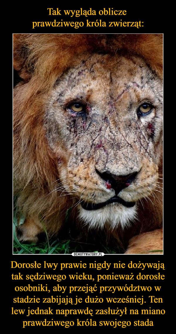 Dorosłe lwy prawie nigdy nie dożywają tak sędziwego wieku, ponieważ dorosłe osobniki, aby przejąć przywództwo w stadzie zabijają je dużo wcześniej. Ten lew jednak naprawdę zasłużył na miano prawdziwego króla swojego stada –