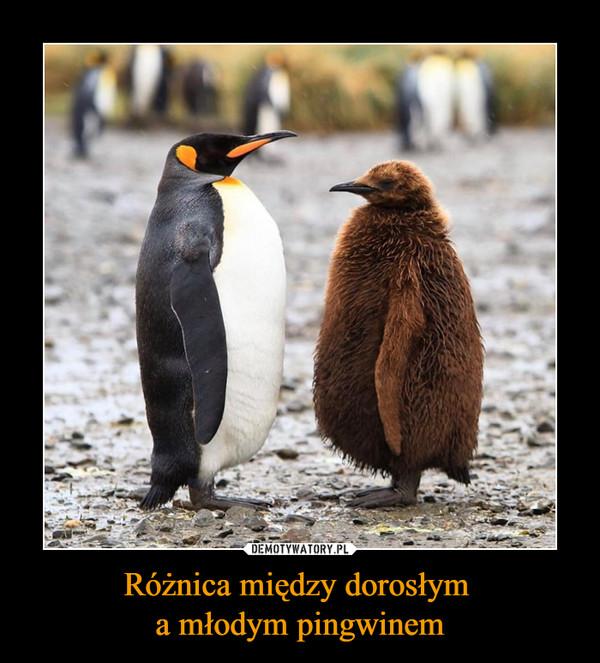 Różnica między dorosłym a młodym pingwinem –