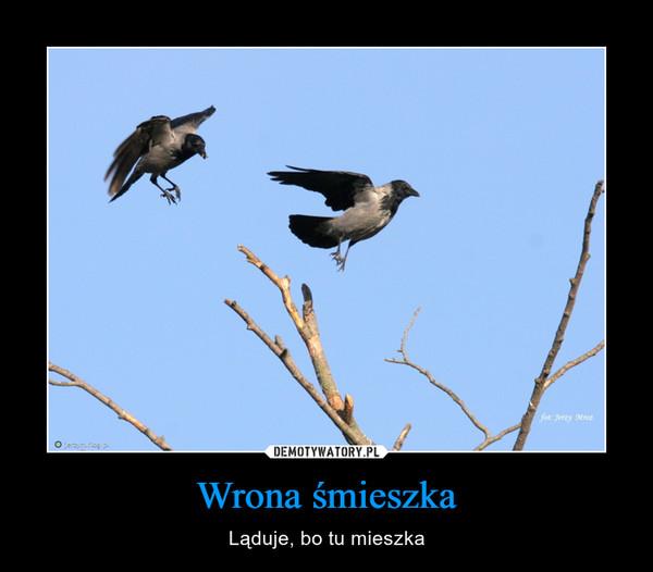 Wrona śmieszka – Ląduje, bo tu mieszka