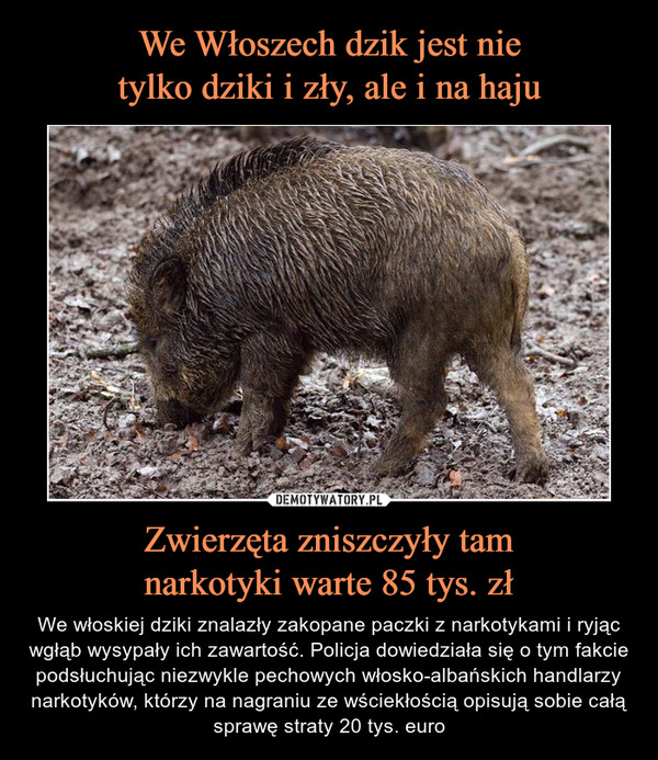 Zwierzęta zniszczyły tamnarkotyki warte 85 tys. zł – We włoskiej dziki znalazły zakopane paczki z narkotykami i ryjąc wgłąb wysypały ich zawartość. Policja dowiedziała się o tym fakcie podsłuchując niezwykle pechowych włosko-albańskich handlarzy narkotyków, którzy na nagraniu ze wściekłością opisują sobie całą sprawę straty 20 tys. euro