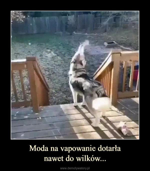 Moda na vapowanie dotarłanawet do wilków... –