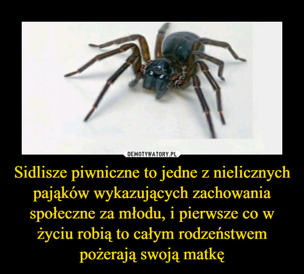 Sidlisze piwniczne to jedne z nielicznych pająków wykazujących zachowania społeczne za młodu, i pierwsze co w życiu robią to całym rodzeństwem pożerają swoją matkę –