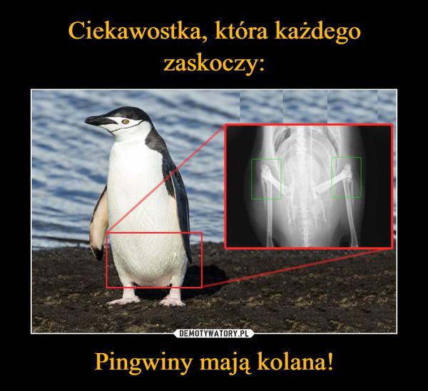 Pingwiny mają kolana! –