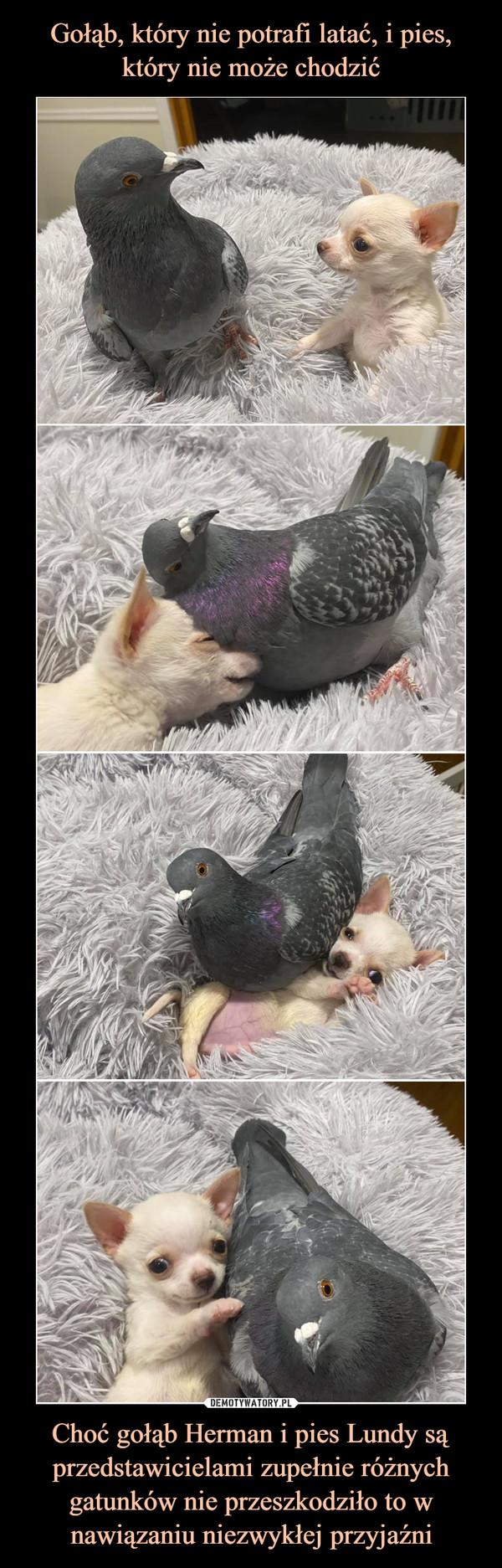 Choć gołąb Herman i pies Lundy są przedstawicielami zupełnie różnych gatunków nie przeszkodziło to w nawiązaniu niezwykłej przyjaźni –