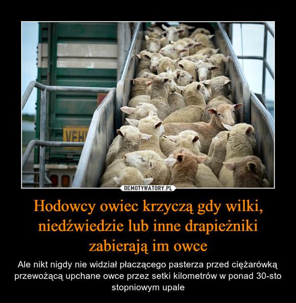 Hodowcy owiec krzyczą gdy wilki, niedźwiedzie lub inne drapieżniki zabierają im owce – Ale nikt nigdy nie widział płaczącego pasterza przed ciężarówką przewożącą upchane owce przez setki kilometrów w ponad 30-sto stopniowym upale