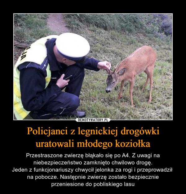 Policjanci z legnickiej drogówki uratowali młodego koziołka – Przestraszone zwierzę błąkało się po A4. Z uwagi na niebezpieczeństwo zamknięto chwilowo drogę.Jeden z funkcjonariuszy chwycił jelonka za rogi i przeprowadził na pobocze. Następnie zwierzę zostało bezpiecznieprzeniesione do pobliskiego lasu