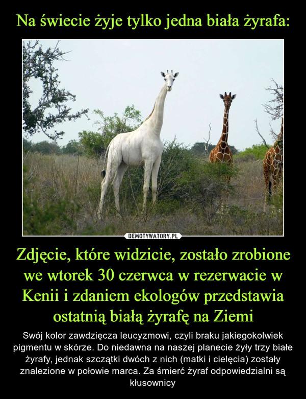 Zdjęcie, które widzicie, zostało zrobione we wtorek 30 czerwca w rezerwacie w Kenii i zdaniem ekologów przedstawia ostatnią białą żyrafę na Ziemi – Swój kolor zawdzięcza leucyzmowi, czyli braku jakiegokolwiek pigmentu w skórze. Do niedawna na naszej planecie żyły trzy białe żyrafy, jednak szczątki dwóch z nich (matki i cielęcia) zostały znalezione w połowie marca. Za śmierć żyraf odpowiedzialni są kłusownicy