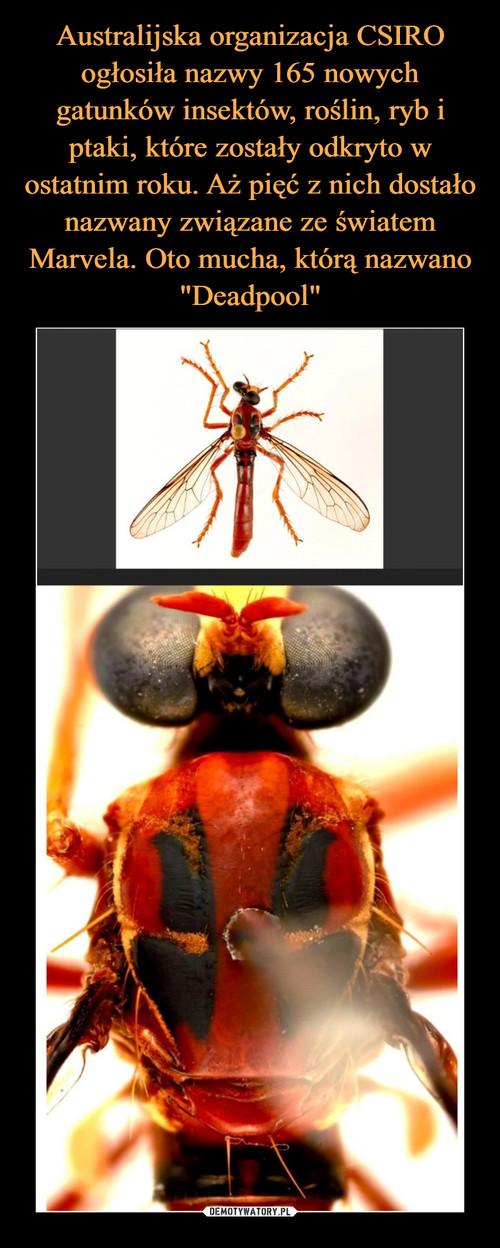 """Australijska organizacja CSIRO ogłosiła nazwy 165 nowych gatunków insektów, roślin, ryb i ptaki, które zostały odkryto w ostatnim roku. Aż pięć z nich dostało nazwany związane ze światem Marvela. Oto mucha, którą nazwano """"Deadpool"""""""