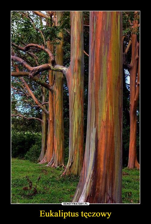 Eukaliptus tęczowy