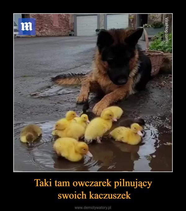 Taki tam owczarek pilnujący swoich kaczuszek –