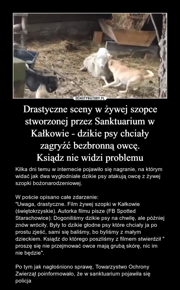 """Drastyczne sceny w żywej szopce stworzonej przez Sanktuarium w Kałkowie - dzikie psy chciałyzagryźć bezbronną owcę.Ksiądz nie widzi problemu – Kilka dni temu w internecie pojawiło się nagranie, na którym widać jak dwa wygłodniałe dzikie psy atakują owcę z żywej szopki bożonarodzeniowej. W poście opisano całe zdarzenie:""""Uwaga, drastyczne. Film żywej szopki w Kałkowie (świętokrzyskie). Autorka filmu pisze (FB Spotted Starachowice): Dogoniliśmy dzikie psy na chwilę, ale później znów wróciły. Były to dzikie głodne psy które chciały ja po prostu zjeść, sami się baliśmy, bo byliśmy z małym dzieckiem. Ksiądz do którego poszliśmy z filmem stwierdził """" proszę się nie przejmować owce mają grubą skórę, nic im nie będzie"""".Po tym jak nagłośniono sprawę, Towarzystwo Ochrony Zwierząt poinformowało, że w sanktuarium pojawiła się policja"""