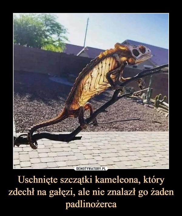 Uschnięte szczątki kameleona, który zdechł na gałęzi, ale nie znalazł go żaden padlinożerca –