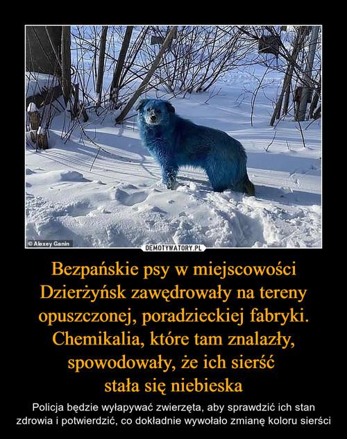 Bezpańskie psy w miejscowości Dzierżyńsk zawędrowały na tereny opuszczonej, poradzieckiej fabryki. Chemikalia, które tam znalazły, spowodowały, że ich sierść  stała się niebieska