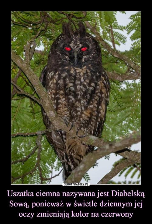 Uszatka ciemna nazywana jest Diabelską Sową, ponieważ w świetle dziennym jej oczy zmieniają kolor na czerwony