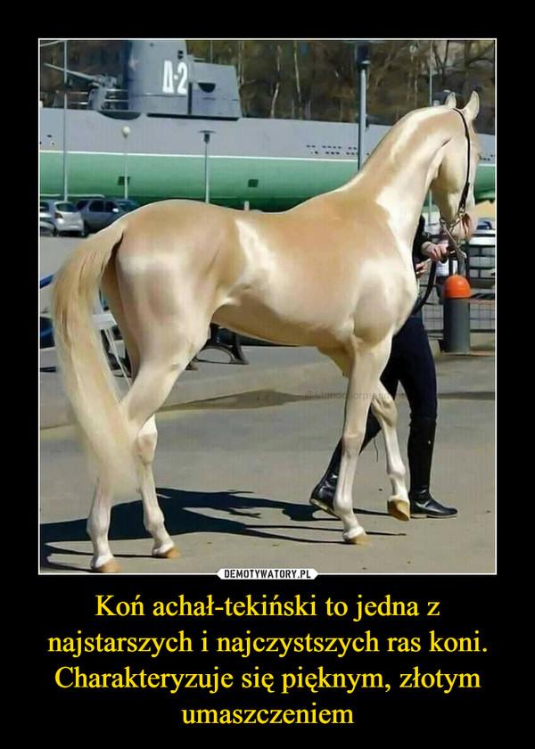Koń achał-tekiński to jedna z najstarszych i najczystszych ras koni.Charakteryzuje się pięknym, złotym umaszczeniem –