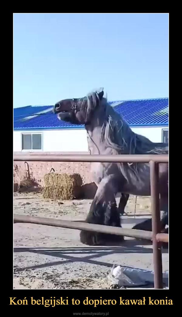Koń belgijski to dopiero kawał konia –