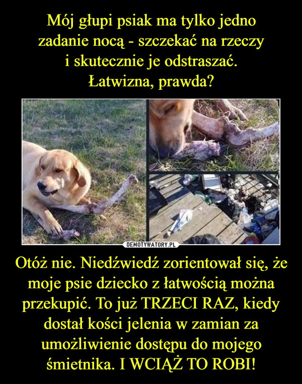 Otóż nie. Niedźwiedź zorientował się, że moje psie dziecko z łatwością można przekupić. To już TRZECI RAZ, kiedy dostał kości jelenia w zamian za umożliwienie dostępu do mojego śmietnika. I WCIĄŻ TO ROBI! –