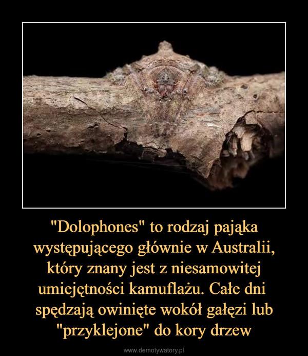 """""""Dolophones"""" to rodzaj pająka występującego głównie w Australii, który znany jest z niesamowitej umiejętności kamuflażu. Całe dni  spędzają owinięte wokół gałęzi lub """"przyklejone"""" do kory drzew –"""