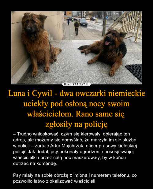 Luna i Cywil - dwa owczarki niemieckie uciekły pod osłoną nocy swoim właścicielom. Rano same się  zgłosiły na policję