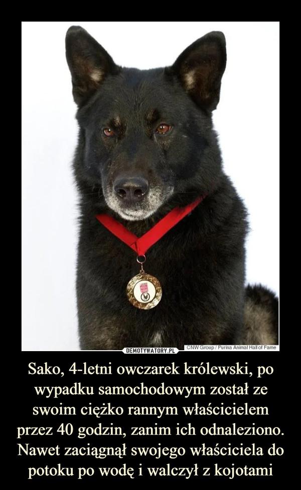 Sako, 4-letni owczarek królewski, po wypadku samochodowym został ze swoim ciężko rannym właścicielem przez 40 godzin, zanim ich odnaleziono. Nawet zaciągnął swojego właściciela do potoku po wodę i walczył z kojotami –
