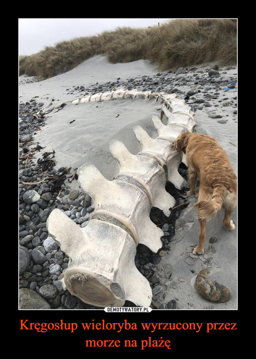 Kręgosłup wieloryba wyrzucony przez morze na plażę