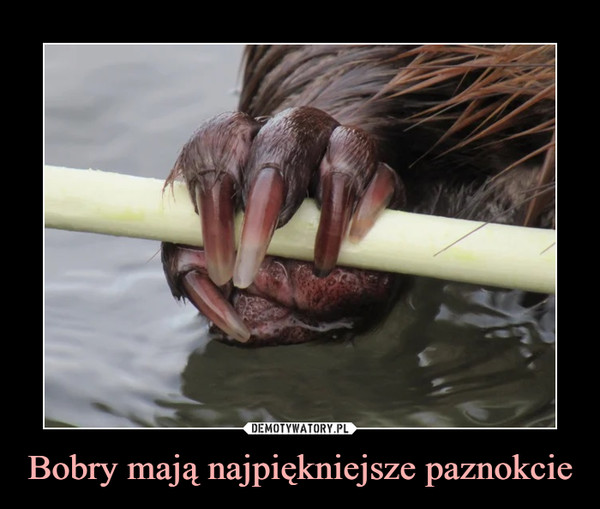 Bobry mają najpiękniejsze paznokcie –