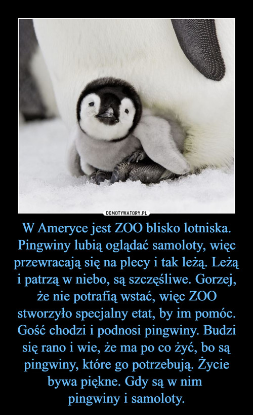 W Ameryce jest ZOO blisko lotniska. Pingwiny lubią oglądać samoloty, więc przewracają się na plecy i tak leżą. Leżą i patrzą w niebo, są szczęśliwe. Gorzej, że nie potrafią wstać, więc ZOO stworzyło specjalny etat, by im pomóc. Gość chodzi i podnosi pingwiny. Budzi się rano i wie, że ma po co żyć, bo są pingwiny, które go potrzebują. Życie bywa piękne. Gdy są w nim  pingwiny i samoloty.