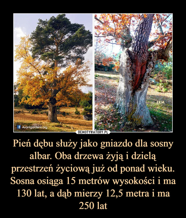 Pień dębu służy jako gniazdo dla sosny albar. Oba drzewa żyją i dzielą przestrzeń życiową już od ponad wieku. Sosna osiąga 15 metrów wysokości i ma 130 lat, a dąb mierzy 12,5 metra i ma 250 lat –