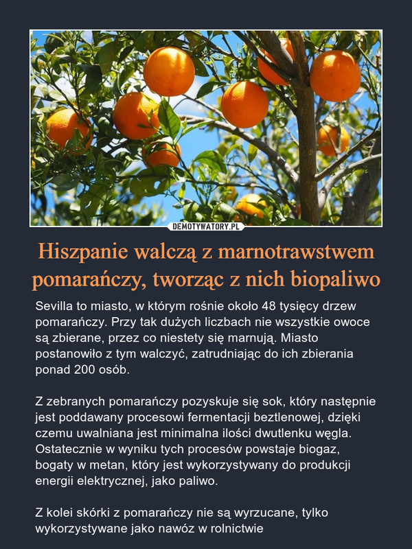 Hiszpanie walczą z marnotrawstwem pomarańczy, tworząc z nich biopaliwo – Sevilla to miasto, w którym rośnie około 48 tysięcy drzew pomarańczy. Przy tak dużych liczbach nie wszystkie owoce są zbierane, przez co niestety się marnują. Miasto postanowiło z tym walczyć, zatrudniając do ich zbierania ponad 200 osób.Z zebranych pomarańczy pozyskuje się sok, który następnie jest poddawany procesowi fermentacji beztlenowej, dzięki czemu uwalniana jest minimalna ilości dwutlenku węgla. Ostatecznie w wyniku tych procesów powstaje biogaz, bogaty w metan, który jest wykorzystywany do produkcji energii elektrycznej, jako paliwo.Z kolei skórki z pomarańczy nie są wyrzucane, tylko wykorzystywane jako nawóz w rolnictwie