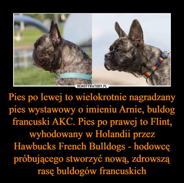 Pies po lewej to wielokrotnie nagradzany pies wystawowy o imieniu Arnie, buldog francuski AKC. Pies po prawej to Flint, wyhodowany w Holandii przez Hawbucks French Bulldogs - hodowcę próbującego stworzyć nową, zdrowszą rasę buldogów francuskich –