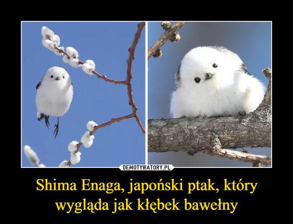 Shima Enaga, japoński ptak, który wygląda jak kłębek bawełny –