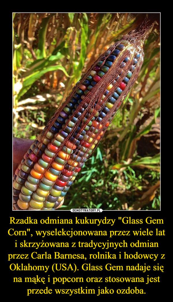 """Rzadka odmiana kukurydzy """"Glass Gem Corn"""", wyselekcjonowana przez wiele lat i skrzyżowana z tradycyjnych odmian przez Carla Barnesa, rolnika i hodowcy z Oklahomy (USA). Glass Gem nadaje się na mąkę i popcorn oraz stosowana jest przede wszystkim jako ozdoba. –"""